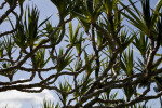 Common Screwpine Branches