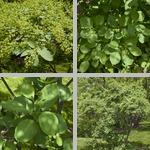Common Smoketrees photographs