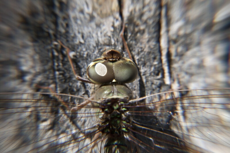 Compound Dragonfly Eyes