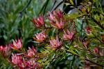 Conebush Flowers