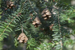 Cones Hanging from the Branches of an Eastern Hemlock Tree