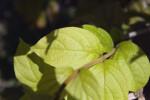 Congea tomentosa Leaves Close-Up