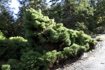 Coniferous Shrub