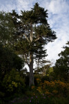 Coniferous Tree Amongst Shrubs