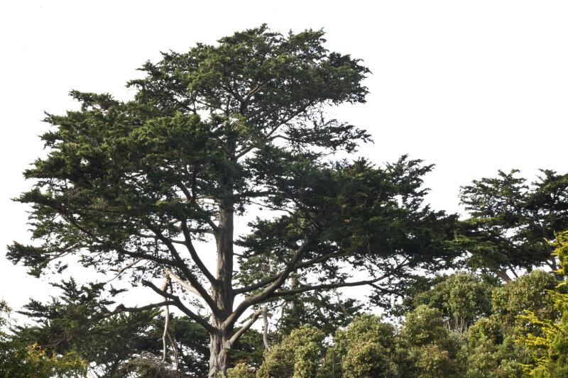 Coniferous Tree Amongst Smaller Trees