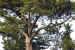 Coniferous Tree Branches