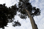 Coniferous Tree Trunk and Branches
