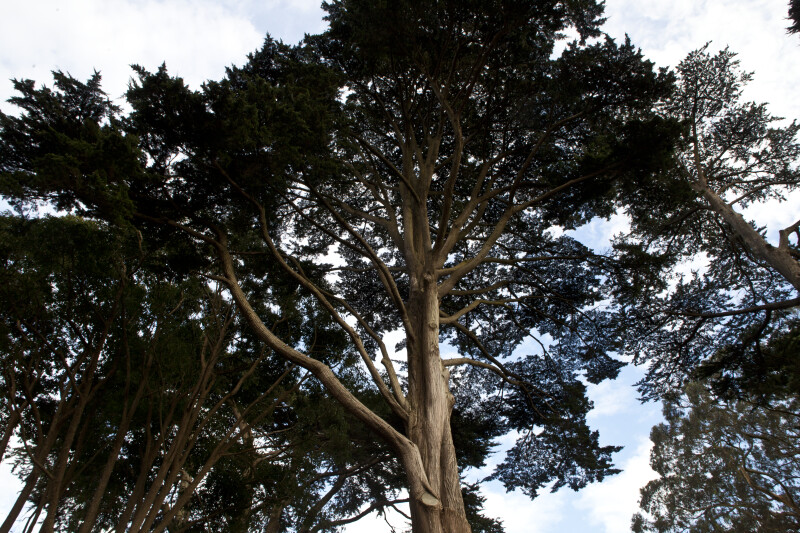 Coniferous Tree with Numerous Branches