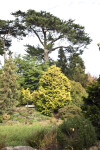 Coniferous Trees and Shrubs