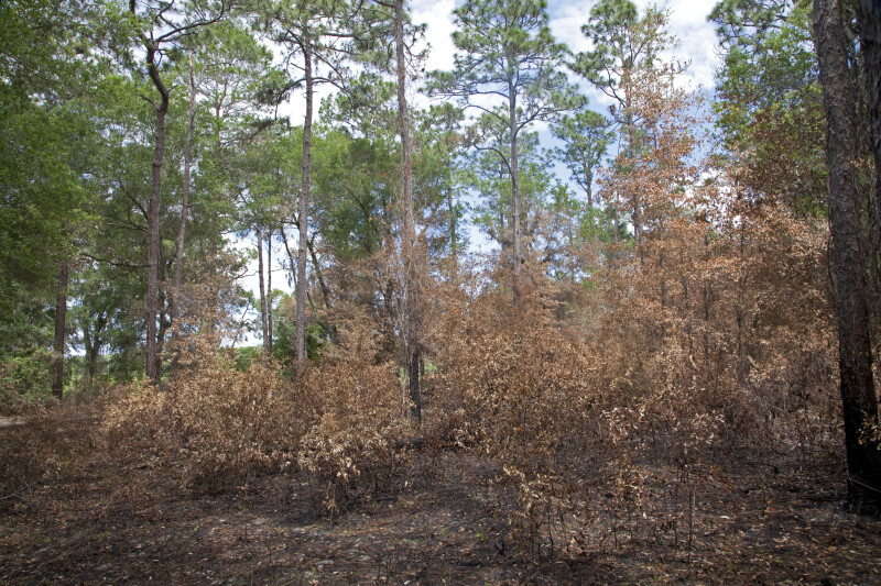 Contrasting Burned Understory and Healthy Overstory