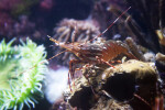 Coonstripe Shrimp in a Tank at the New England Aquarium