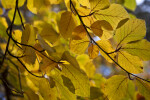 Copper Beech Leaves Close-Up