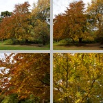 Copper Beech Trees photographs