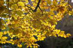 Copper Beech Yellow Leaves