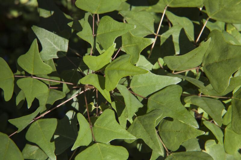 Coral Bean Leaves