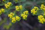 Coral Spurge Flowers