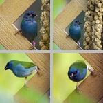Cordon-Bleus photographs