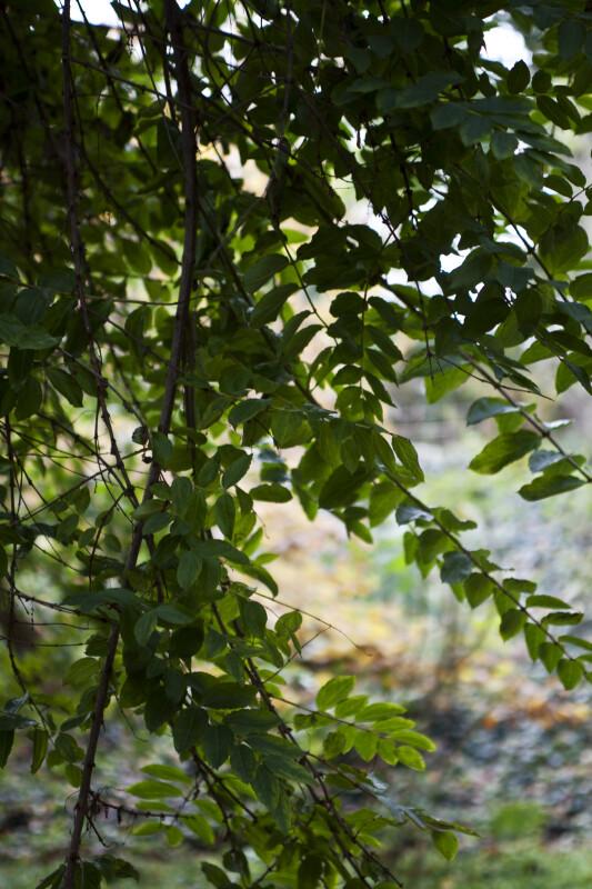 Coriaria Branches