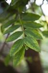Coriaria Leaves