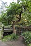 Coriaria Tree