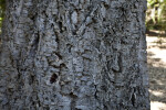 Cork Oak Bark