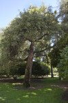 Cork Oak Tree at Capitol Park in Sacramento