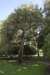 Cork Oak Tree at Capitol Park in Sacramento