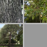 Cork Oak Trees photographs