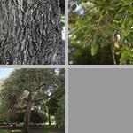 Cork Oak Trees photographs