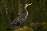 Cormorant Standing in Shallow Water
