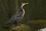Cormorant Standing in Water at Big Cypress National Preserve