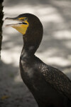 Cormorant with Beak Open