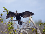 Cormorant with Wings Spread