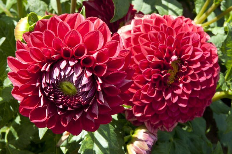 """Cornel"" Dahlia Flowers"