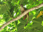 Cost Rican Squirrel Monkey Resting