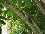 Costa Rican Squirrel Monkey at Bonnet House