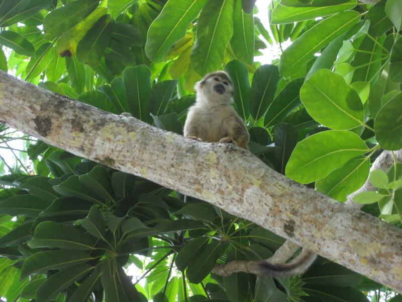Costa Rican Squirrel Monkey on Branch
