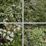 Cotoneasters photographs