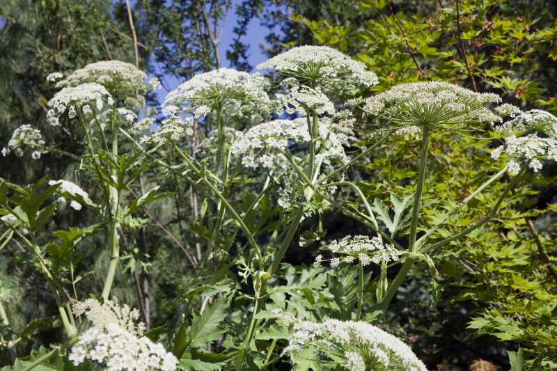 Cow Parsnip Flower Stalks