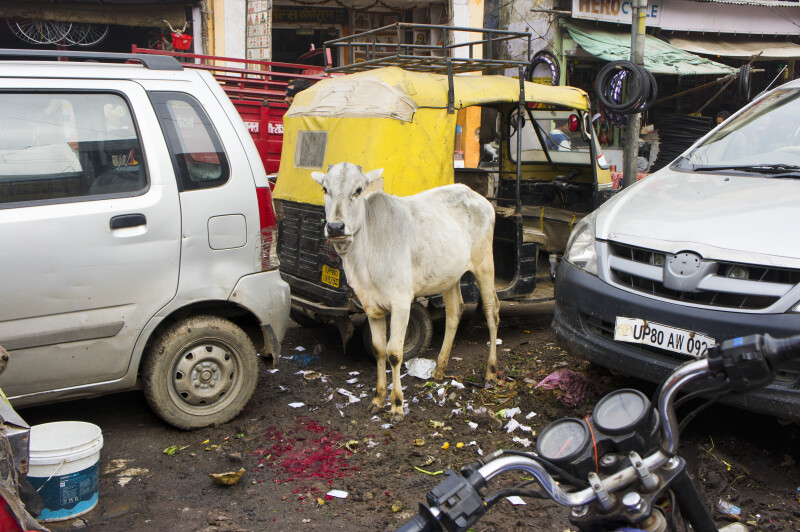 Cow Standing in Garbage