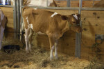 Cow with Brown and White Fur that is Standing