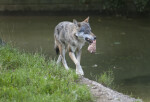 Coyote Walking With Raw Meat