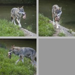 Coyotes photographs