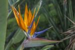 Crane Flower with Orange Sepals and Purplish-Blue Petals