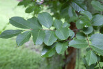 Crape Myrtle Branches and Leaves