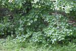 Crimean Linden Branches