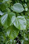 Crimean Linden Serrated Leaves