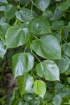 Crimean Linden Toothed Leaves