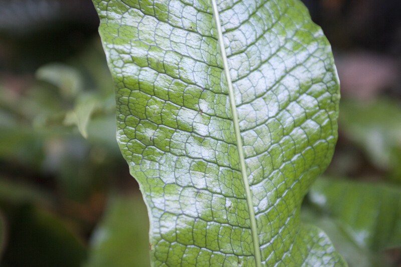 Crocodile Fern Leaf