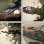 Crocodiles photographs